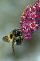 Pollen covered Bee on flower