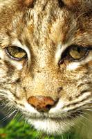 Bobcat Portrait