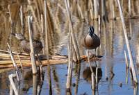 Teal in the cattails