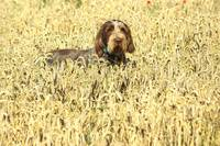 Dog in the Cornfield