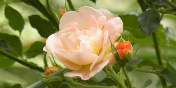 Pastel Pink Rose With Orange Buds
