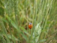 Ladybug in a Wheat Field in NW Oklahoma