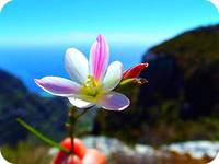 Table Mountain Flower