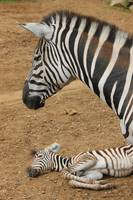 Zebra and Newborn Foal