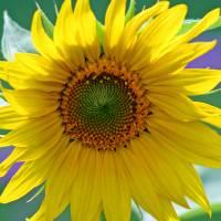Sunflower by Karen Adams