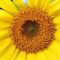 Sunflower by Karen Adams