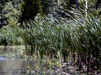 Wind in The Cattails Wetlands Scene by Ginette