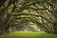 Avenue of Oaks - Charleston SC Plantation Live Oak