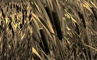 Cattails in Sepia Triptych