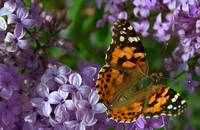 Painted Lady Lilac