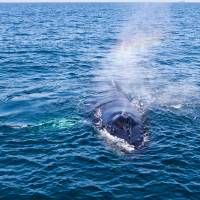 Rainbow Hello from a Humpback Whale by Eileen Ringwald