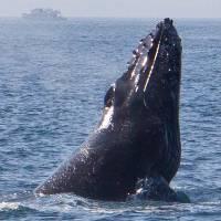 Breaching Humpback Whale by Eileen Ringwald