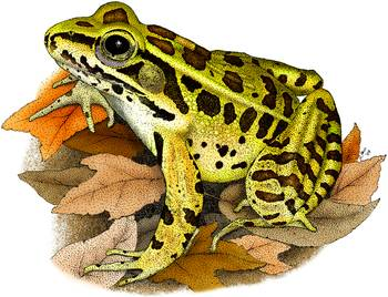Northern Leopard Frog by artist Roger Hall. Giclee prints, art prints, animal art, frog art, Rana pipiens; from an original pen and ink drawing