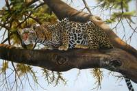 Leopard on a tree ready to pounce