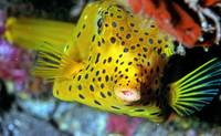 Boxfish Sleeping