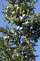 Stem of Juniper Berries