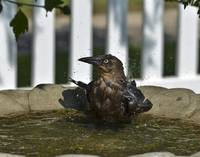 Grackle in the Bird Bath