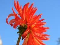 Red_Dahlia_BlueSky