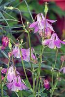 Flowers  Columbine Pink & Purple