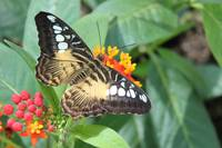 Clipper Butterfly, Parthenos sylvia,
