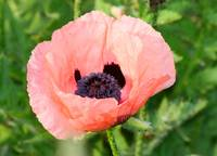 Poppy  Orange Coral color