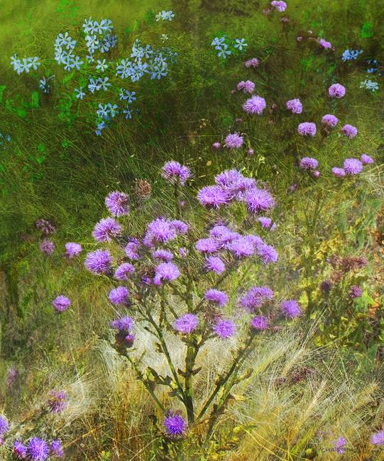 knapweed and flowered meadow