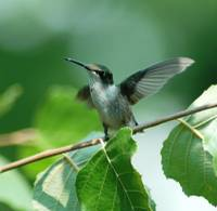 Humming bird spreading her wings