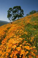 California Poppy Hillside IV