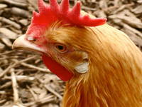 portrait of chicken