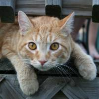 Cat  Curious Calvin by Karen Adams