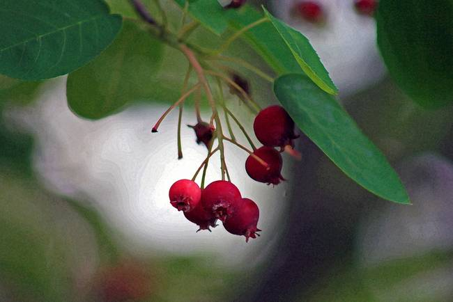 Berries of a Serviceberry Tree