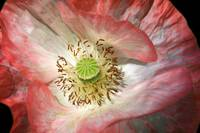 Unfolding Pink Poppy