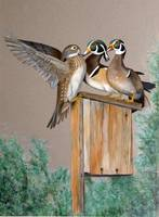 Wood ducks - oil