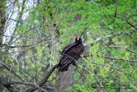 Turkey Vulture 20120430_45a