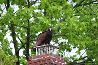 Turkey Vulture 20120423_8a