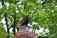 Turkey Vulture 20120423_9a
