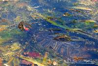 Red Eared Slider Turtle 20120419_141a
