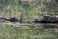 Painted Turtles 20120419_174a