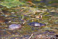 Painted Turtles 20120419_190a