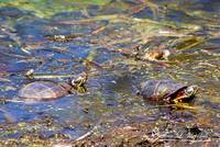 Painted Turtles 20120419_193a