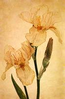 Peach Iris Germanica