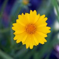 Flower  Yellow Coreopsis by Karen Adams