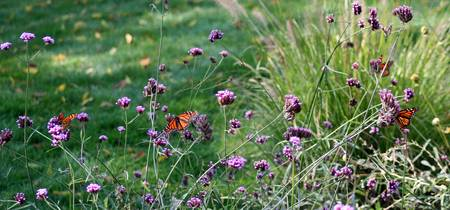 Butterflies Monarchs in Field of Flowers