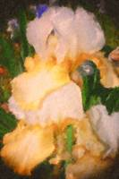 WHITE AND YELLOW IRIS PAINTED