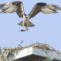 Osprey Nest Art Prints & Posters by Mark Kulaw