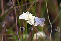Butterfly Eastern Tailed Blue
