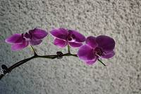 Beautiful Phalaenopsis Orchids