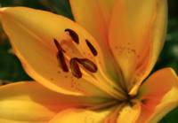 Spotted Yellow Lily in Sun