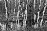 Birch trees along the river