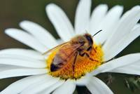 Honey Bee on a Daisy